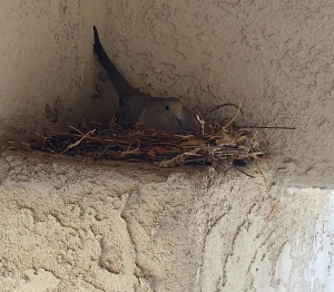 A dove nesting on the ledge of the entrance to our house